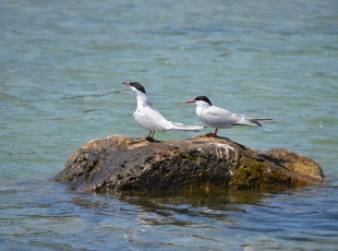Terns can be spotted during Birding Tours with Bruce Peninsula Boat Tours