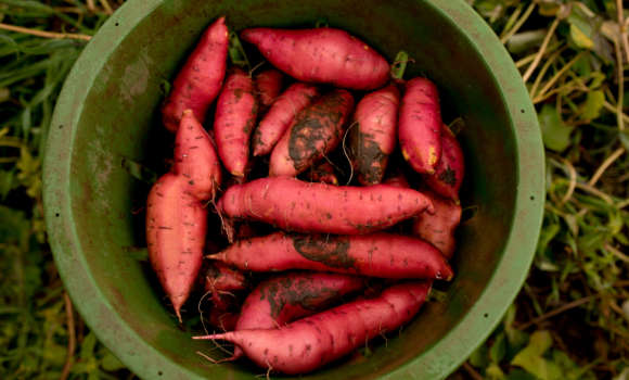 Store Sweet Potatoes in a cool, dry place.  Do not refrigerate; cold storage reduces flavor and causes toughness.
